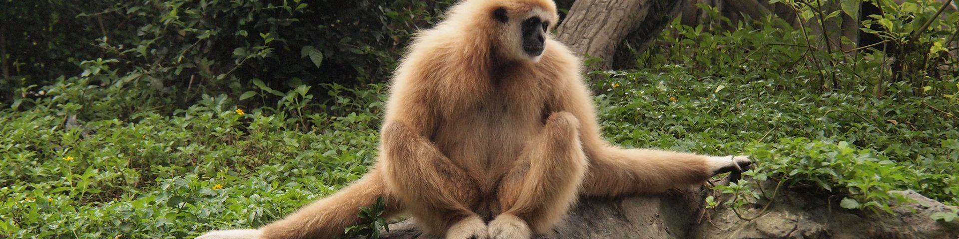 Gibbon in Chiang Mai